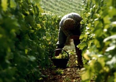 September is de tijd voor de champagne oogst